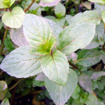 Pfefferminze Mentha piperita Senior