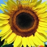 sunflowers-helianthus-annuus-uniflorus-giganteus