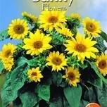 sunflowers-helianthus-debilis-stella-yellow