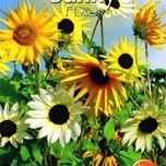 sunflowers-helianthus-esther