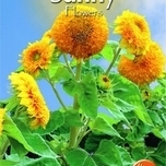 sunflowers-sungold