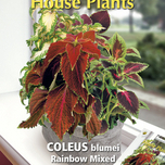 Zimmerplfanze Coleus Rainbow mix