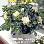 house-plants-gardenia-cape-jasmine