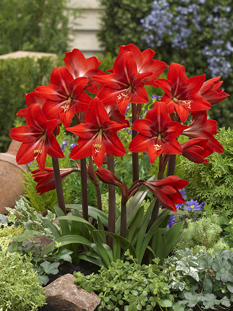 sonatini amaryllis rot garten amaryllis kaufen online bestellen. Black Bedroom Furniture Sets. Home Design Ideas