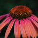 "Echinacea ""Orange Passion"""
