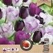 Tulpen Purple Passion Mischung