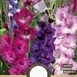 Gladiolus Lila Mischung