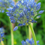 Alliums Caeruleum