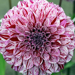 Dahlien dec. Marble Ball