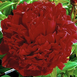 Pfingstrose Red Magic - Paeonia