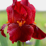 Deutsche Schwertlilie Iris germanica Red Zinger