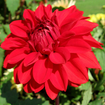 Dahlien dec. Garden Wonder