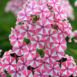 Wiesenphlox Peppermint Twist