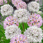 Alliums Roseum & Amplectans Mischung