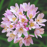Allium Roseum (Gro�packung)