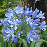 Agapanthus Blue Umbrella - Schmucklilie