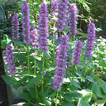 "Duftnessel (Agastache ""Blue Fortune"") (Sechserpack)"