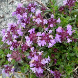 Thymus praecox 'Purple Beauty'