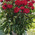 Pfingstrosen Baby Red - Paeonia