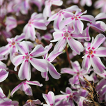 Polster-Phlox Candy Stripes (Phlox)
