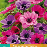Anemone Lila & Rosa Mischung
