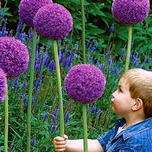 Alliums Gladiator (L)