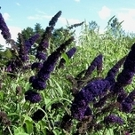 Schmetterlingsflieder Black Knight - Buddleja