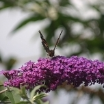 Schmetterlingsflieder Empire Blue - Buddleja