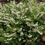 "Erica Darleyensis ""White Perfection"" (Sechserpack)"