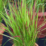 Japanisches Blutgras Red Baron - Imperata cylindrica (Sechserpack)