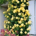 Kletter-Rose 'Golden Climber'