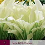 Hosta White Feather