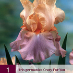Iris Crazy for You - Schwertlilie