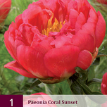 Pfingstrose Coral Sunset - Paeonia