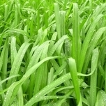 "Japan-Segge "" Irish Green "" (Carex)"