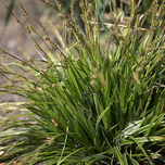 "Japan-Segge "" Variegata "" (Carex)"