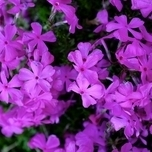 "Polster-Phlox ""Purple Beauty"" Sechserpack"