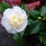 Camellia Japonica Brushfield's Yellow - Kamelie