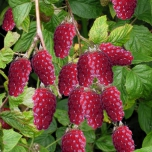 Rubus Tayberry - Taybeere