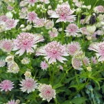 Sterndolde - Astrantia Major (Topfpflanze)