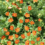 "Potentilla Fruticosa ""Red Ace"" - Strauch-Fingerkraut"