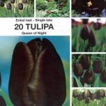 Tulpe Queen of Night - Schwarze Tulpe