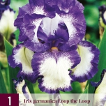 Deutsche Schwertlilie Iris germanica Loop the Loop
